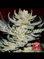 Delicious Seeds - Desconocida Kush Regular Cannabis Seeds
