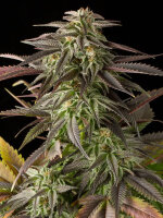 DINAFEM Seeds - Blue Cheese Feminised Cannabis Seeds