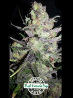 Dispensario Seeds - Auto Clinical Feminised Autoflowering Cannabis Seeds