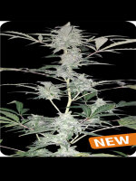 Dispensario Seeds - Auto Old School Hashplant Feminised Autoflowering Cannabis Seeds