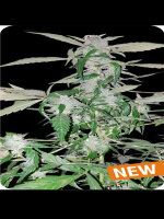Dispensario Seeds - Auto Island Diesel Feminised Autoflowering Cannabis Seeds