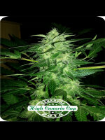Dispensario Seeds - Auto Relax Feminised Autoflowering Seeds