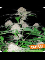 Dispensario Seeds - Island Mango Kush Feminised Cannabis Seeds
