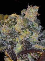 DJ Short Seeds - Whitaker Blues Regular Cannabis Seeds