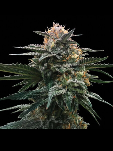 DNA Genetics - Blood Orange Sorbet (Sorbet Collection) Feminised Cannabis Seeds