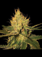 DNA Genetics - Cannalope Haze Feminised Cannabis Seeds