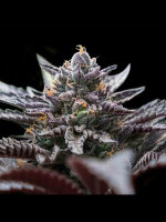 DNA Genetics - Double Stuffed Sorbet (Sorbet Collection) Feminised Cannabis Seeds
