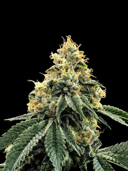 DNA Genetics - Kosher Dawg Feminised Cannabis Seeds