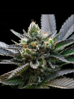 DNA Genetics - LA Sorbet (Sorbet Collection) Feminised Cannabis Seeds