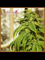 Dr Krippling - Doh Si Dohpe - Feminised Cannabis Seeds