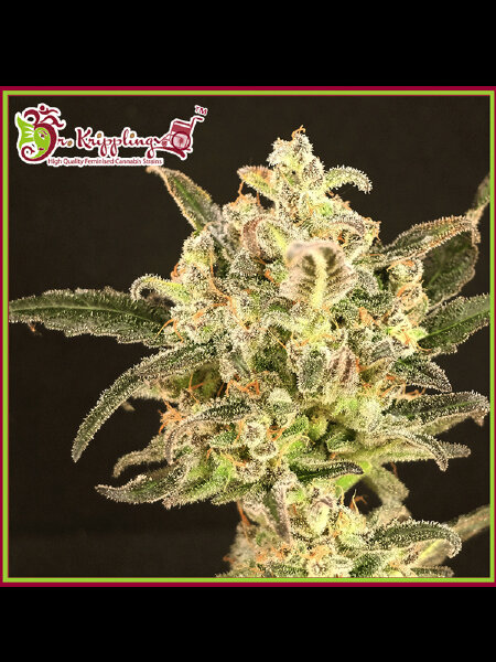Dr Krippling - Dolly Kush - Feminised Cannabis Seeds