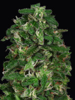 Don Avalanche Seeds - Don Critical Crack Feminised Cannabis Seeds