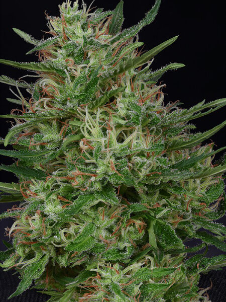 Don Avalanche Seeds - Don Green Crack Feminised Cannabis