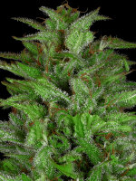 Don Avalanche Seeds - Don Gelato Auto Feminised Autoflowering Cannabis Seeds
