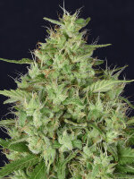 Don Avalanche Seeds - Don Star Dawg Feminised Cannabis Seeds