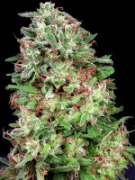 Don Avalanche Seeds - Don White Widow Feminised Cannabis Seeds