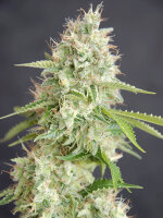 Cream of the Crop - Double Cream Feminised Single Cannabis Seed
