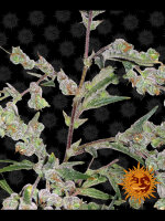 Barneys Farm - Dr Grinspoon Feminised Cannabis Seeds