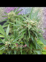Dr Krippling Seeds - Blue Tease Auto Feminised Autoflowering Cannabis Seeds
