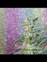 Dr Krippling Seeds - Blueberry Pot Tart Feminised Cannabis Seeds
