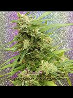 Dr Krippling Seeds - G.H.A. Turbo Diesel Auto Feminised Autoflowering Cannabis Seeds