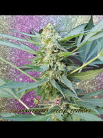 Dr Krippling Seeds - Mango Bubble Cloud Auto Feminised Autoflowering Cannabis Seeds