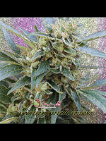 Dr Krippling Seeds - Shark Infested Custard Feminised Cannabis Seeds