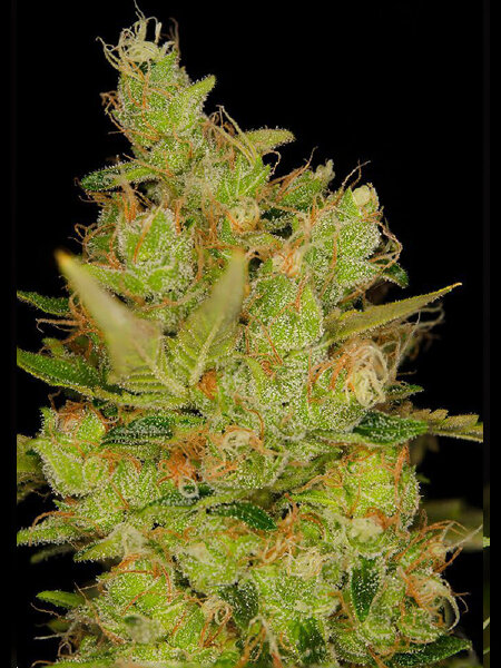 Dready Seeds - Northern Cheese Feminised Cannabis Seeds