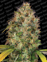 Paradise Seeds - Dutch Kush Feminised Cannabis Seeds
