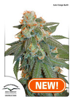 Dutch Passion - Auto Orange Bud Feminised Cannabis Seeds