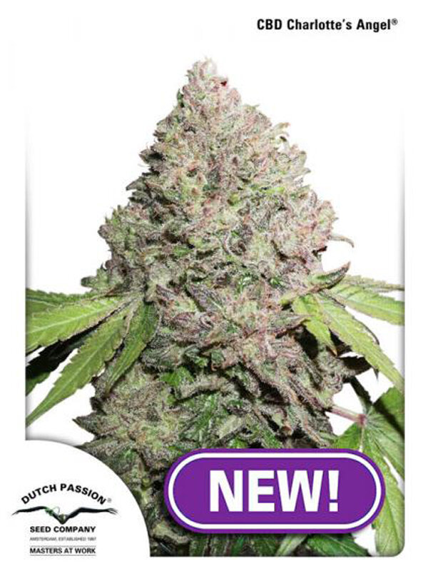 Dutch Passion - CBD Charlotte's Angel Feminised Cannabis Seeds - Ali