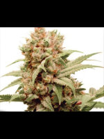 Dutch Passion - CBG Force Feminised Cannabis Seeds