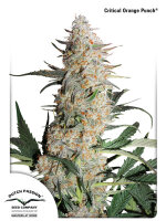 Dutch Passion - Critical Orange Punch Feminised Cannabis Seeds