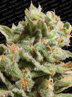 Paradise Seeds - Dutch Dragon Feminised Cannabis Seeds