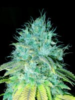 Emerald Triangle Seeds - Sour Puss Feminised Cannabis Seeds