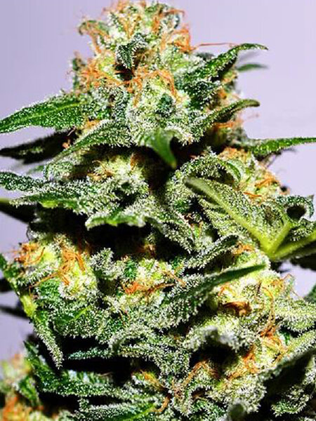 Cream of the Crop - Cash Crop XL Feminised Autoflowering Cannabis Seeds