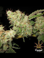 Flavour Chasers - Alien Glue Feminised Cannabis Seeds