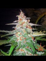 Flavour Chasers - Forbidden Glue Feminised Cannabis Seeds