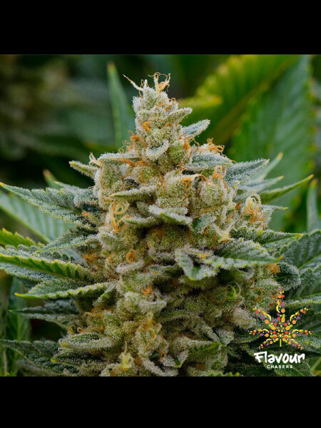 Flavour Chasers - Stardawg Feminised Cannabis Seeds