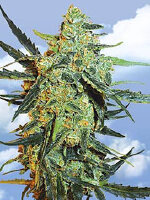 Flying Dutchmen - Blueberry Skunk Feminised Cannabis Seeds