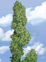 Flying Dutchmen - Dame Blanche Feminised Cannabis Seeds