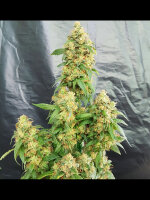 Freedom of Seeds - Chunky Skunk Feminised Cannabis Seeds