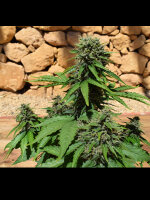 Freedom of Seeds - Auto Pixie Punch 3 Feminised Autoflowering Cannabis Seeds