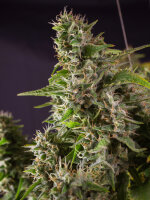 Super Sativa Seed Club - Frosty Friday - Regular Cannabis Seeds