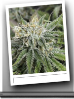 SinCity Seeds - Frozen Tangerines Feminised Cannabis Seeds 7 Pack