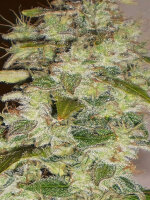 BC Bud Depot - Truly Fruity 12 Regular Cannabis Seeds