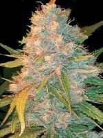 Genehtik Seeds - Azken Indika (LUI) Regular Cannabis Seeds