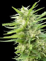 Genehtik Seeds - Kritical Bilbo x AK47 - Feminised Cannabis Seeds