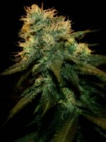 Genehtik Seeds - Northern Lights X Feminised Cannabis Seeds