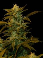 Genehtik Seeds - Super Silver Bilbo Feminised Cannabis Seeds